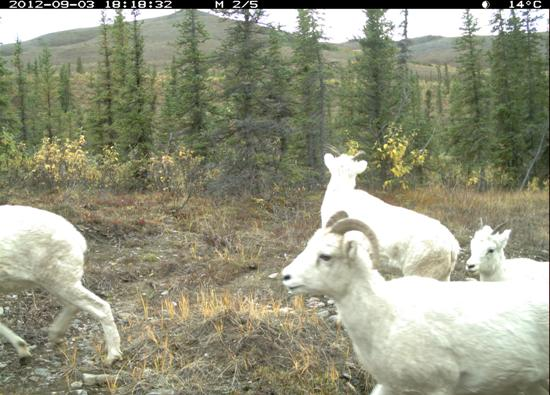Dall sheep and a lamb