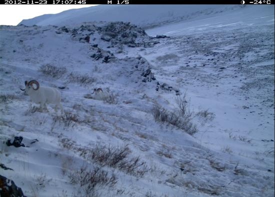 Two Dall sheep rams