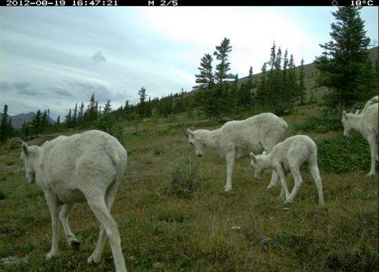 Dall sheep group traveling