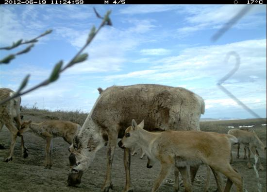 Two caribou cows and three calves