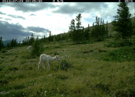 Dall sheep lamb