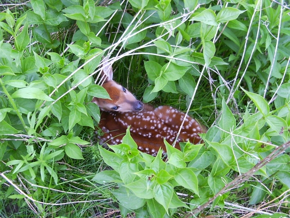 Fawn nestled in the brush