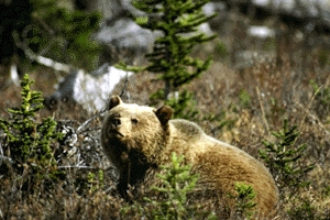 Grizzly bear (Ursus arctos), Kluane National Park and Reserve of Canada.