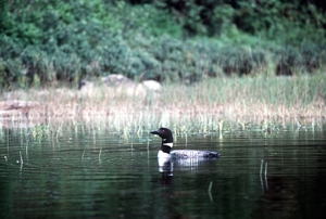 Common loon in La Mauricie National Park