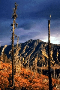Natural regeneration of a burn area, Kluane National Park and Reserve of Canada.