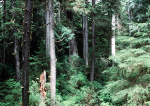 Temperate rainforest in Pacific Rim National Park Reserve of Canada.