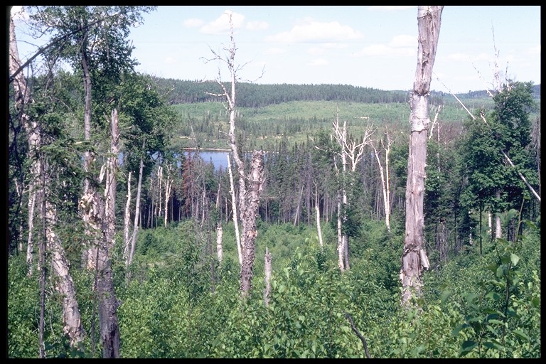 Ecosystem succession: Forest trees grow and die, and are replaced by younger trees growing under the canopy.