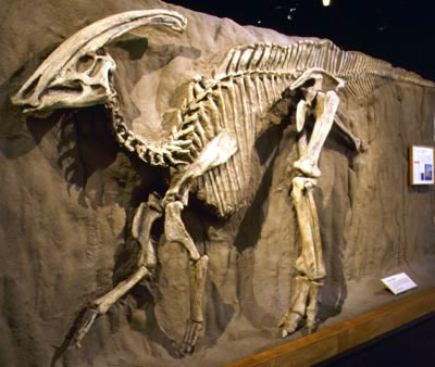 Picture of the skeleton of a Parasaurolophus, a middle size dinosaur, on display at the Royal Tyrrell Museum that was found in Dinosaur Provincial Park.