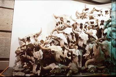 A pile of numerous bison skulls shown in the Interpretive Centre.