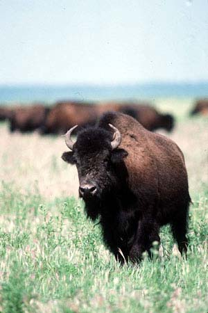 Close up pcture of a wood bison.