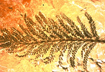 Picture of a fossilized fern: the Archaeopteris halliana.